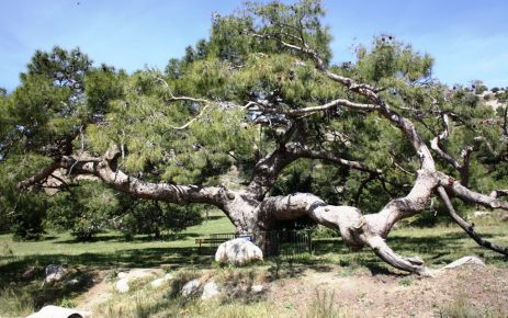 The time-defying 400-year-old round pine tree of Çınarlı