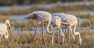 With their out standing beauty, Flamingos...