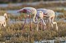With their out standing beauty, Flamingos visit our ilands wet lands frequently