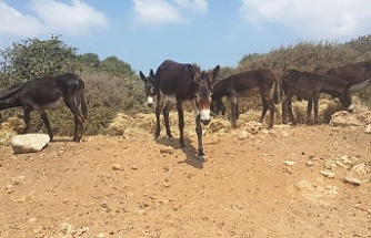 Karpasia peninsula primarily salute its' guests by donkeys!